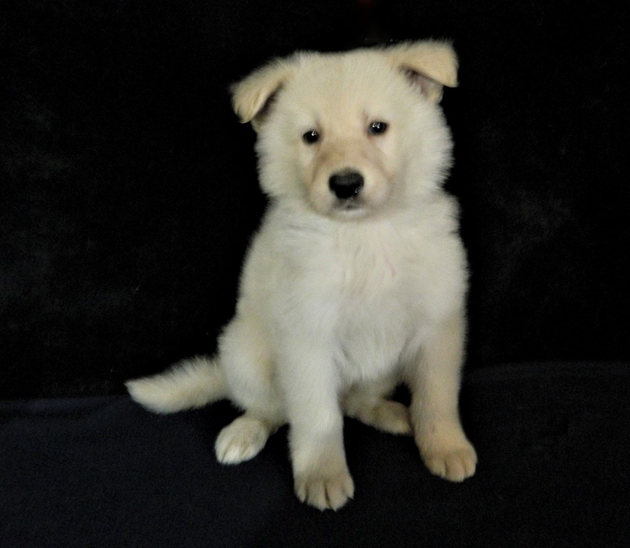 Able K-9 Academy German Shepherd Puppies for Sale